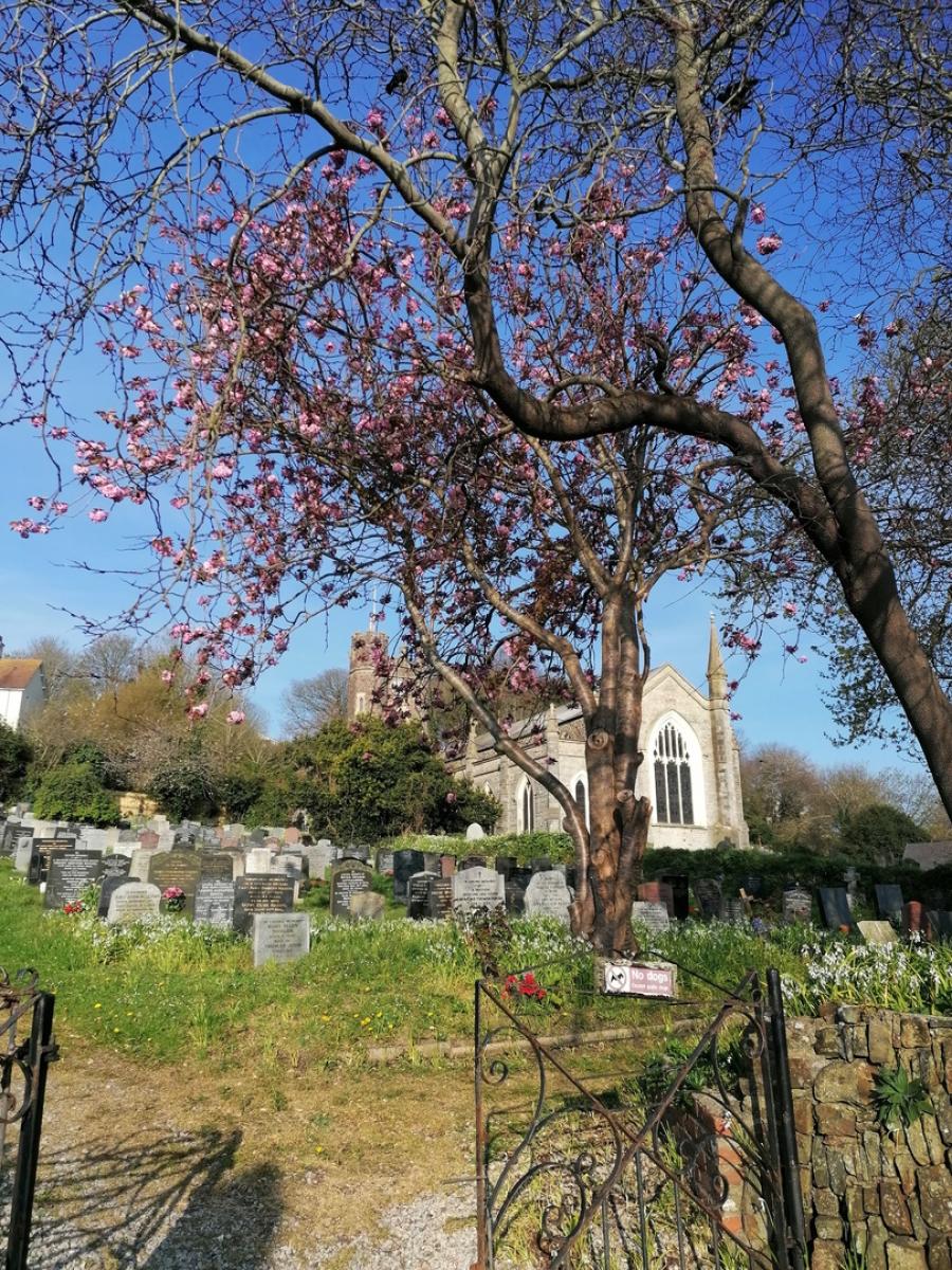 Judas Tree, St Marys Church Appledore
